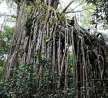 Curtain Fig Tree by Robyn Williams