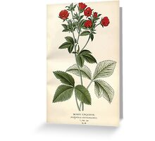 Favourite flowers of garden and greenhouse Edward Step 1896 1897 Volume 2 0031 Silvery Cinquefoil Greeting Card