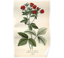 Favourite flowers of garden and greenhouse Edward Step 1896 1897 Volume 2 0031 Silvery Cinquefoil Poster