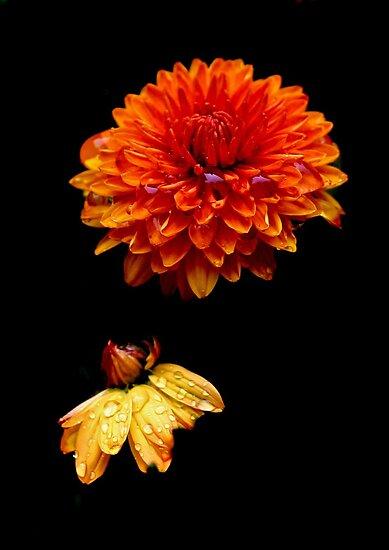 Floating Flowers 7 - Mums in the Rain by Debbie Pinard