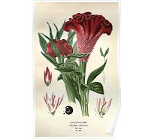 Favourite flowers of garden and greenhouse Edward Step 1896 1897 Volume 3 0242 Cock's Comb Poster
