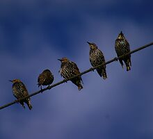 Birds on a Wire by Viv Andrew