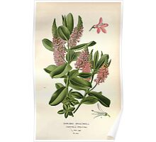 Favourite flowers of garden and greenhouse Edward Step 1896 1897 Volume 3 0189 Shrubby Speedwell Poster
