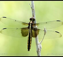 Female Widow Skimmer dragonfly by pieceoflace