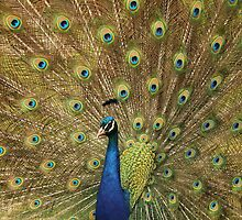 Preening Peacock by Jessica Annalee