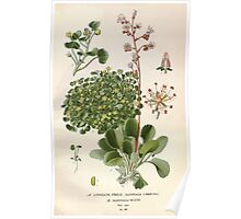 Favourite flowers of garden and greenhouse Edward Step 1896 1897 Volume 2 0040 London Pride and Saxifraga Hueth Poster