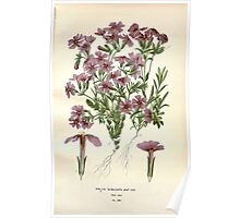 Favourite flowers of garden and greenhouse Edward Step 1896 1897 Volume 3 0095 Phlox Subulata Poster
