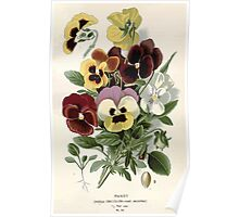 Favourite flowers of garden and greenhouse Edward Step 1896 1897 Volume 1 0108 Pansy Poster