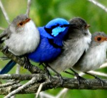 Spring Time Blue Wren and Friends Sticker