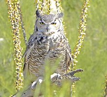 Great Horned Owl by gcampbell