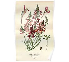 Favourite flowers of garden and greenhouse Edward Step 1896 1897 Volume 3 0164 Purple Toadflax Poster