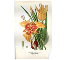 Favourite flowers of garden and greenhouse Edward Step 1896 1897 Volume 4 0095 Peacock Tiger Flower Poster