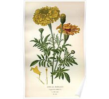 Favourite flowers of garden and greenhouse Edward Step 1896 1897 Volume 2 0208 African Marigold Poster