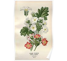 Favourite flowers of garden and greenhouse Edward Step 1896 1897 Volume 3 0068 Chinese Primrose Poster