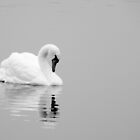 Reflections of a swan by Squawk