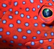 Blue spotted tamarin wrasse Sticker