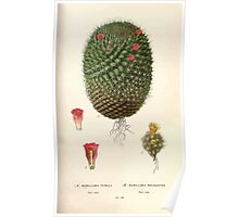 Favourite flowers of garden and greenhouse Edward Step 1896 1897 Volume 2 0124 Mamillaria Pusilla and Rhodantha Poster