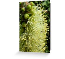 White/yellow Bottle Brush Flower Greeting Card