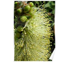 White/yellow Bottle Brush Flower Poster
