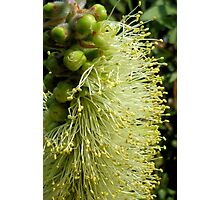 White/yellow Bottle Brush Flower Photographic Print