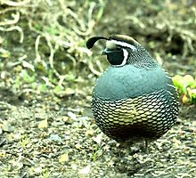California Quail..........dressed in his Sunday best......! by Roy  Massicks