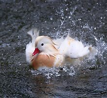 Splash - White Mandarin Duck by Jo Nijenhuis
