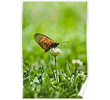Garden Acraea Poster