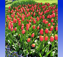 Colour Me Red - Tulips in the Keukenhof Gardens by BlueMoonRose