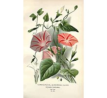 Favourite flowers of garden and greenhouse Edward Step 1896 1897 Volume 3 0128 Convolvulus or Morning Glory Photographic Print