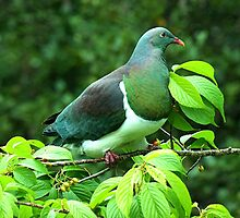 Kereru - the Native Pigeon of New Zealand. by Roy  Massicks