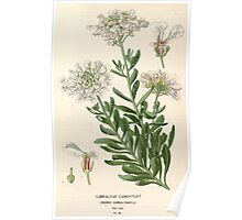 Favourite flowers of garden and greenhouse Edward Step 1896 1897 Volume 1 0096 Gibraltar Candytuft Poster
