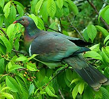 Kereru - A study in green.........! by Roy  Massicks