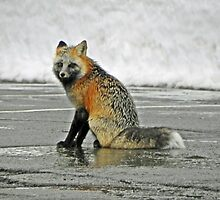 Red Fox at Paradise  by Kathy Yates