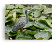 Dancing on Lilly Pads Canvas Print