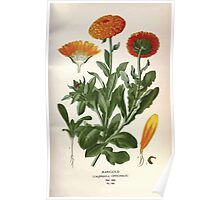 Favourite flowers of garden and greenhouse Edward Step 1896 1897 Volume 2 0241 Marigold Poster