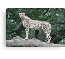 On Patrol - National Zoo Canvas Print