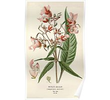Favourite flowers of garden and greenhouse Edward Step 1896 1897 Volume 1 0189 Royle's Balsam Poster
