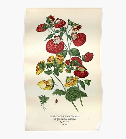 Favourite flowers of garden and greenhouse Edward Step 1896 1897 Volume 3 0155 Herbaceous Calceolaria Poster