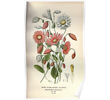 Favourite flowers of garden and greenhouse Edward Step 1896 1897 Volume 2 0181 Rosy Everlasting Flower Poster
