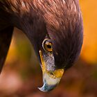 Golden Eagle 2 by Sue Ratcliffe