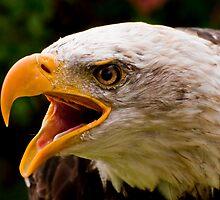 Bald Eagle by Sue Ratcliffe