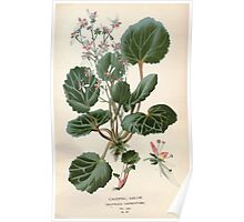 Favourite flowers of garden and greenhouse Edward Step 1896 1897 Volume 2 0037 Creeping Sailor Poster