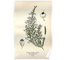 Favourite flowers of garden and greenhouse Edward Step 1896 1897 Volume 3 0038 Black Anthered Heath Poster