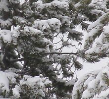 Snowy Pines by Sarah Trent
