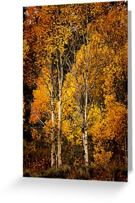 Aspen Gold by Barbara  Brown