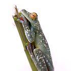 Tree Frog in Costa Rica by Sergey Kahn