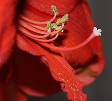 Enticing Pollination in Red by karina5