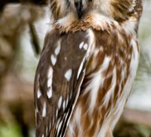 Northern Saw Whet Owl - Amherst  Island, Ontario Sticker