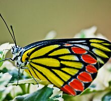 Butterfly by Neha  Gupta