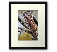 Northern Saw Whet Owl - Amherst Island, Ontario Framed Print